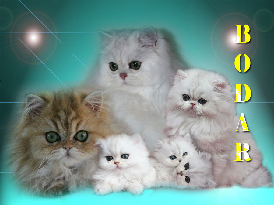 BODAR - shaded silver and golden persian cats and kittens for sale