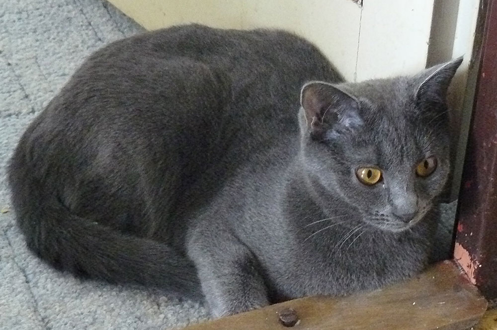 Pictures Of Pedigree Cats