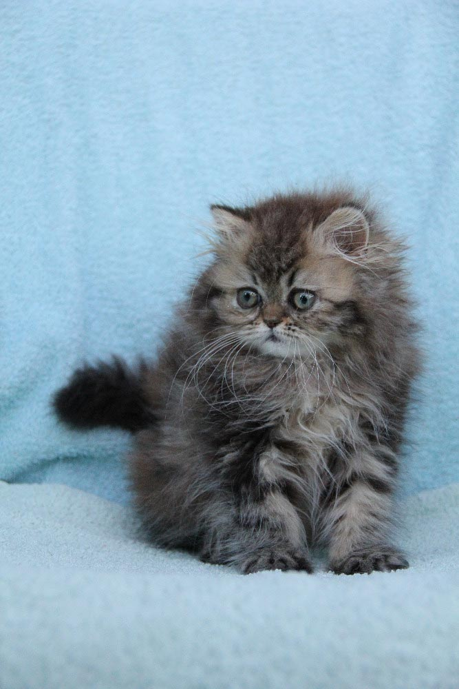 Himalayan kitten flame point for sale (colourpoint) - year ...