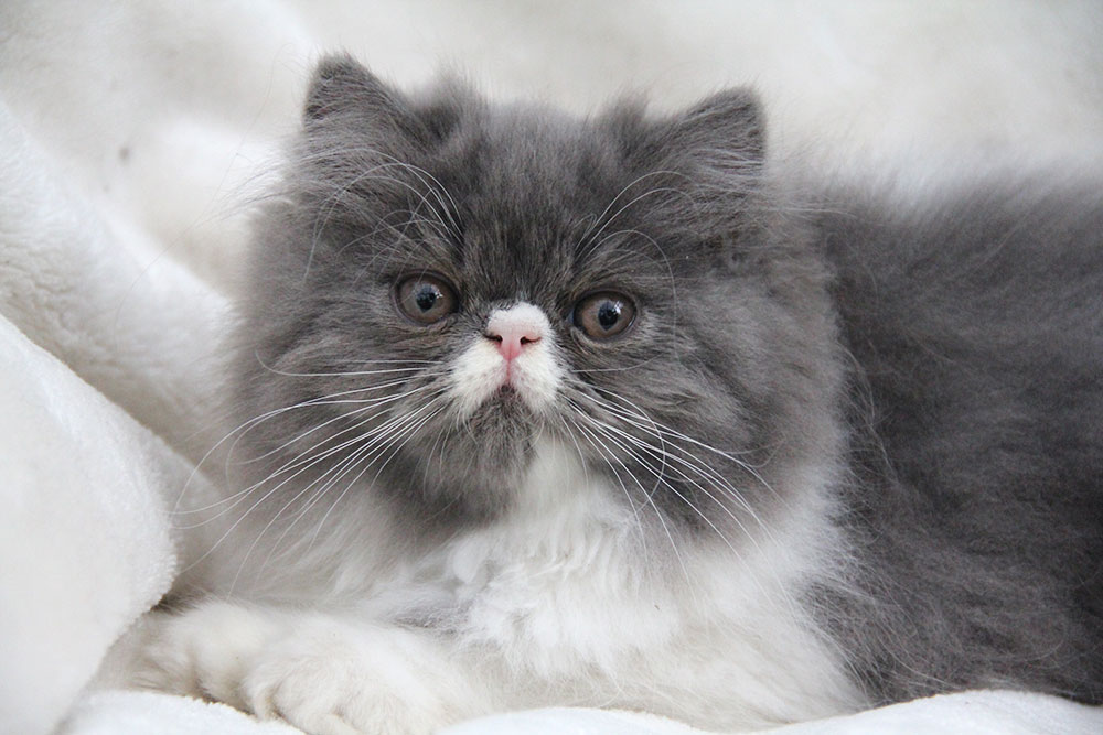 Persian kittens for sale (ELH in CFA) - year 2019