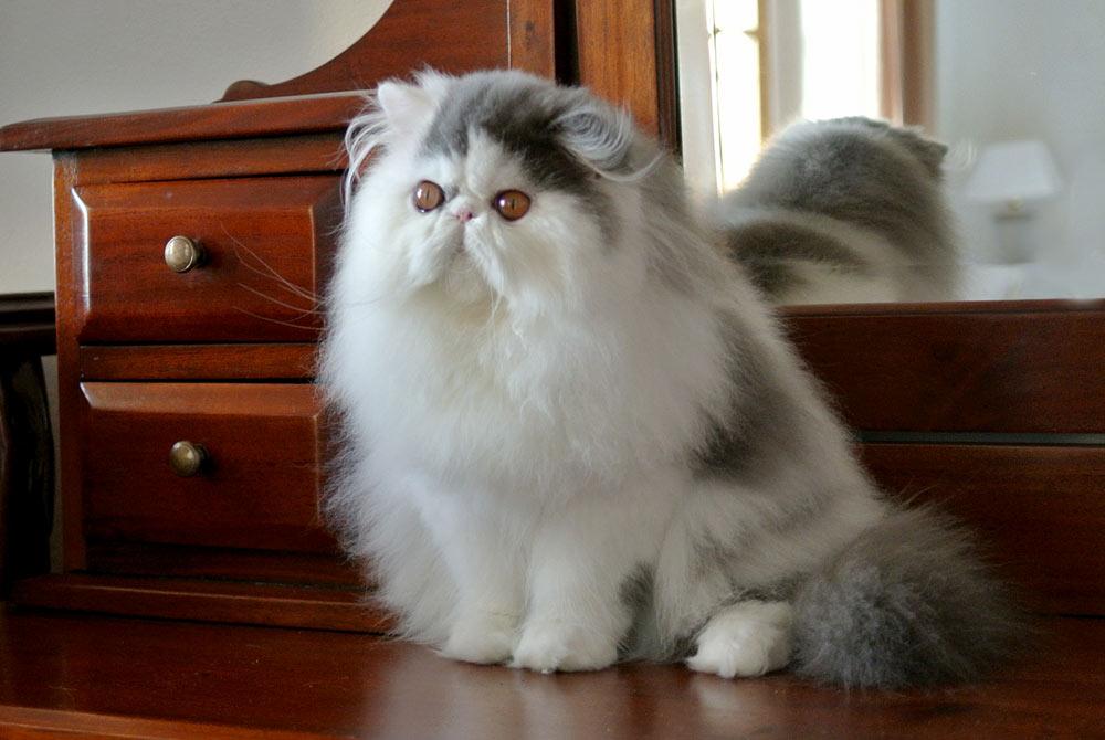 Persian cats La Capuccino - news